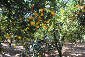 Chuyên cung cấp giống cây vam vinh, cam vinh, cây giống cam vinh,cam,giống cam vinh chuẩn