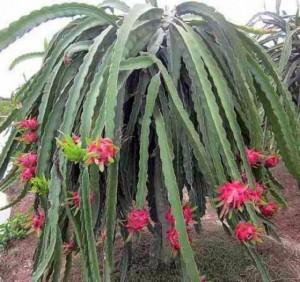 Chuyên cung cấp giống cây thanh long ruột đỏ, thanh long ruột đỏ, thanh long, cây giống thanh long