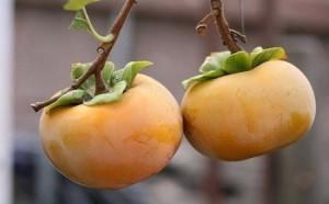 Chuyên cung cấp giống cây hồng không hạt,hồng nhân hậu,hồng giòn,hồng không chát, hồng