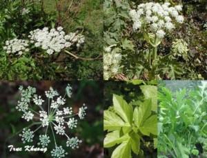 Chuyên cung cấp cây giống,hạt giống cây đương quy,cây đương quy