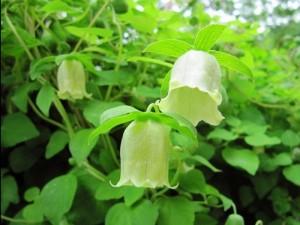 Chuyên cung cấp giống cây đẳng sâm,thượng đẳng nhân sâm, cây giống đẳng nhân sâm chất lượng cao