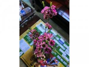 Hoa thanh liễu chậu
