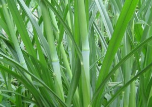 Chuyên cung cấp giống cỏ ghinê,hạt giống cỏ ghine, cỏ ghine,hạt giống cỏ ghine chất lượng