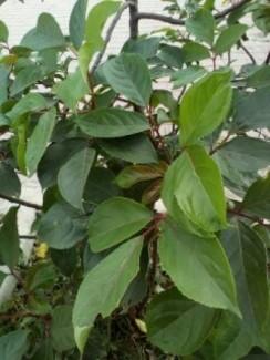 cây và lá cây nhội