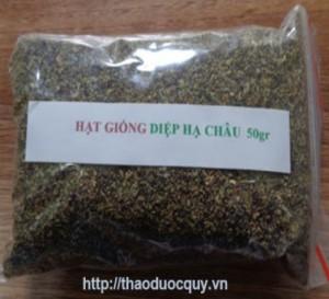 Chuyên cung cấp hạt giống diệp hạ châu, cam kết chuẩn giống, giao hạt toàn quốc.