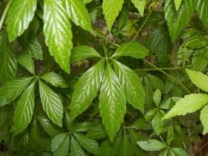 Chuyên cung cấp hạt giống, cây giống giảo cổ lam, cam kết chuẩn giống, giao hạt toàn quốc.