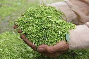 Chuyên cung cấp cây giống hoa hòe, cam kết chuẩn giống, giao hạt toàn quốc.