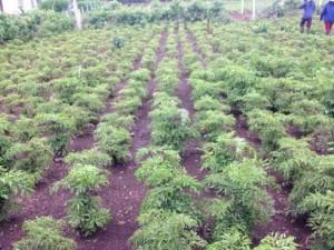 Chuyên cung cấp cây giống đinh lăng, cam kết chuẩn giống, giao hạt toàn quốc.