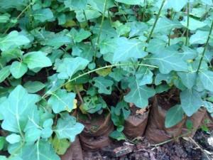 Chuyên cung cấp cây giống cà gai leo, cam kết chuẩn giống, giao hạt toàn quốc
