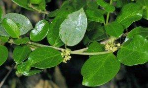 Chuyên cung cấp cây giống dây thìa canh, cam kết chuẩn giống, giao hạt toàn quốc.