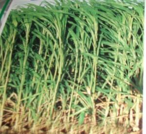 Chuyên cung cấp các giống cỏ sweet jumbo cho trâu, bò.