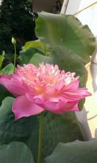 Hoa Sen bách diệp hồng