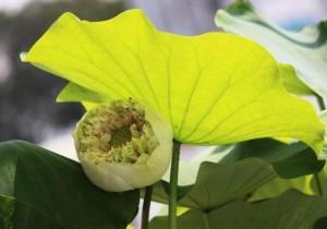 Hoa sen bách diệp trắng