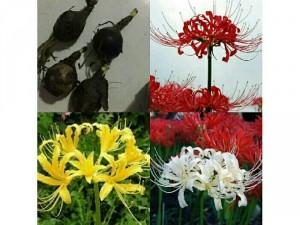 Củ hoa bỉ ngạn
