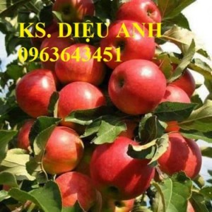 Chuyên cung cấp giống táo nhập khẩu: táo tây ruột đỏ, táo tây ruột vàng, táo tàu, táo dáng bon sai