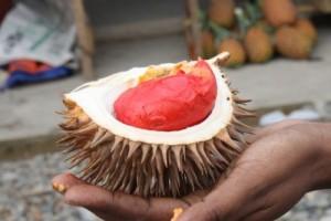 Chuyên cung cấp giống cây sầu riêng ruột đỏ, sầu riêng ruột đỏ,giống sầu riêng chất lượng