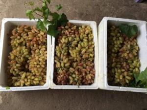 Chuyên cung cấp cây giống nho nhập khẩu chất lượng