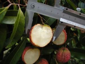 Chuyên cung cấp giống cây vải thiều không hạt,giống vải thiều mới