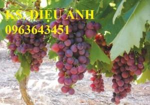 Chuyên cung cấp cây giống nho pháp nhập khẩu, quả to, ngọt,chuẩn giống