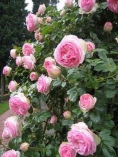 Chuyên cung cấp giống hồng ngoại giâm cành,hồng ngoại,hoa hồng,hồng ngoại