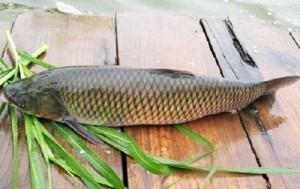 Giá bán cá trắm đen tươi sống tại Hà Nội