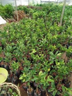 Chuyên cung cấp giống cây bưởi da xanh, bưởi da xanh miền bắc,nam