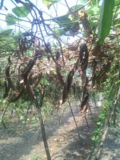 Bán hạt đậu rồng chữa đau dạ dày