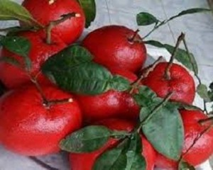 Bán giống cây bưởi đỏ luận văn, quả đỏ ruột đỏ, chuẩn giống, giao cây toàn quốc.