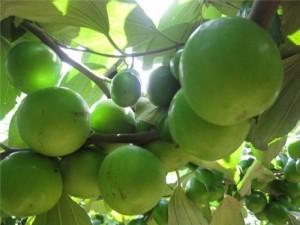 Chuyên cung cấp giống cây táo thái lan,táo thái lan,táo thái,giống táo thái ,táo,số lượng lớn
