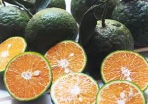 Chuyên cung cấp giống cây cam sành,cam sành,cam,cam sành bắc giang,cam sành,cam