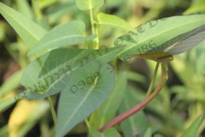Bán rau muống sạch - vườn rau sạch quỳnh Nhi garden