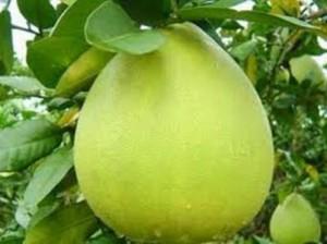 Chuyên cung cấp giống cây bưởi Bưởi năm roi, số lượng lớn, cây giống F1, giao hàng toàn quốc