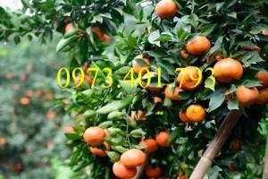 Giống cây cam đường canh, cam đường canh, cây cam đường canh, cây cam, kĩ thuật trồng cây cam