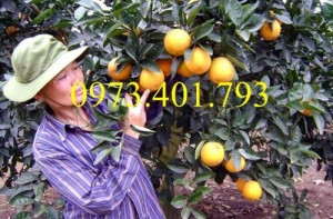 Giống cây cam Vinh, cam Vinh, cây cam Vinh, cây cam, kĩ thuật trồng cây cam