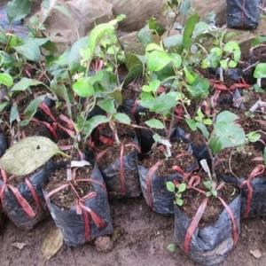 Cung cấp cây giống táo Thái Lan, số lượng lớn, giao cây toàn quốc.