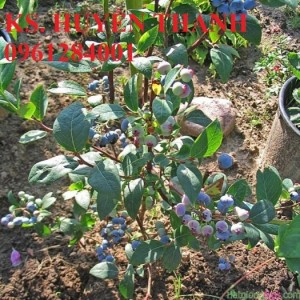 Chuyên cung cấp cây giống việt quất nhập khẩu, số lượng lớn, giao cây toàn quốc.