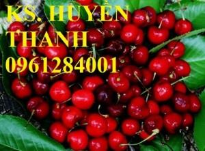 Bán cây giống cherry nhập khẩu, số lượng lớn, giao cây toàn quốc.