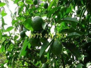 Giống cây Chanh Ta