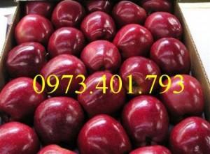 Cung cấp cây giống táo đỏ mỹ vỏ đỏ ruột đỏ
