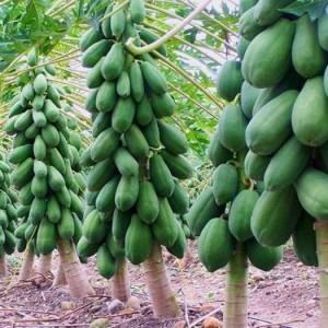 Chuyên cung cấp giống đu đủ lùn cao sản thái lan,đu đủ thái lan,đủ đủ lùn