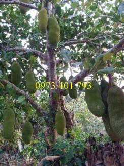 Giống cây mít trái dài Malaysia