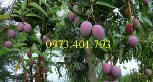 Chuyên cung cấp Giống cây xoài tím miền Nam uy tín, giá rẻ