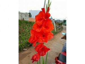 Sỉ củ hoa layon ( dơn )