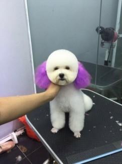 Nhận phối giống chó Poodle tiny trắng
