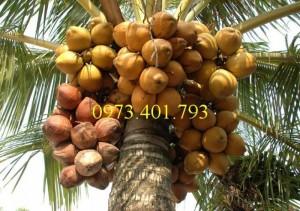 Chuyên cụng cấp Cây Giống Dừa xiêm lùn đỏ chất lượng, giá rẻ