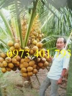 Cây Giống Dừa xiêm lùn đỏ chất lượng, giá rẻ