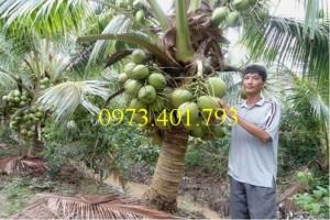 Cây Giống Dừa xiêm lùn xanh