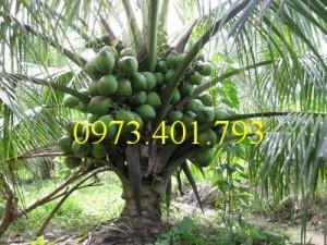 Chuyên cung cấp Cây Giống Dừa xiêm lùn xanh chất lượng, giá rẻ