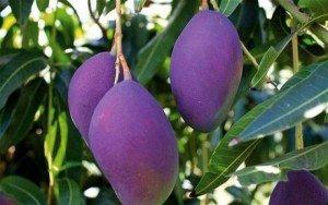 Bán cây giống xoài tím, chuẩn giống, số lượng lớn.