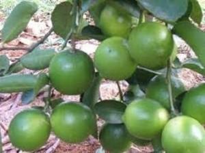 Bán cây giống chanh tứ quý, không hạt, số lượng lớn